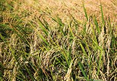 Transitoire de riz dans le domaine de riz photographie stock libre de droits