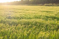 Transitoire de riz dans le domaine de riz images stock