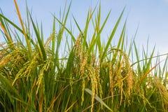 Transitoire de riz dans le domaine de riz photos libres de droits