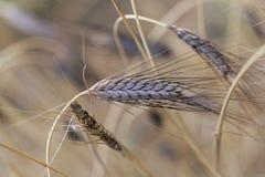 Transitoire de variété noire de dicoccon de triticum de blé d'emmer atratum photo libre de droits