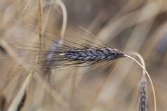 Transitoire de variété noire de dicoccon de triticum de blé d'emmer atratum photographie stock