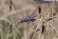 Transitoire de variété noire de dicoccon de triticum de blé d'emmer atratum images stock