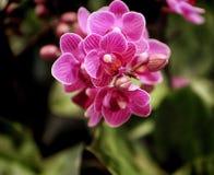Transitoire des fleurs pourpres de phalaenopsis image stock
