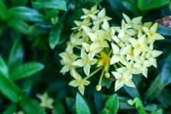transitoire et fleur jaunes de boutique de fleur d'Ixora dans le jardin Photographie stock