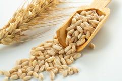 transitoire et grains de blé photos libres de droits