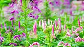 Transitoire rose de fleur et feuilles vertes photo stock