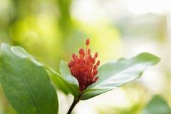 Transitoire rouge de fleur photos libres de droits