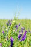 Transitoire verte avec les fleurs pourpres dans le domaine Image libre de droits