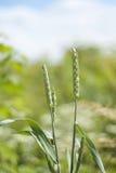 Transitoire verte de blé photographie stock