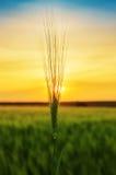 Transitoire verte de blé au-dessus de champ dans le coucher du soleil Images stock
