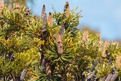 Transitoires épuisées de fleur de Banksia s'élevant dans l'Australie occidentale images libres de droits