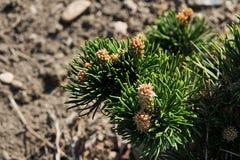 Transitoires courtes sur l'extrémité des branches des pinus Mugo, variété Turra Jacobsen de pin de montagne conifére et naine images stock
