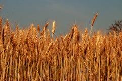 Transitoires d'or de culture de blé sous le ciel bleu photos stock