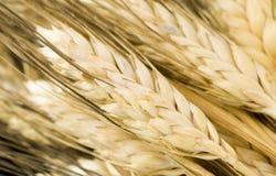 Transitoires de blé images stock