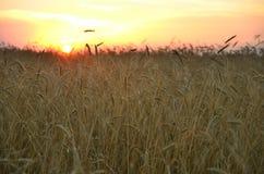 Transitoires de blé au coucher du soleil sous le ciel rouge image libre de droits
