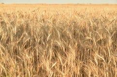 Transitoires de blé dans le domaine photo libre de droits