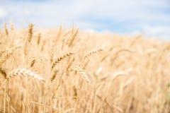 Transitoires de blé dans le domaine, un jour lumineux d'été image stock