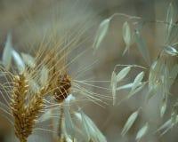 Transitoires de blé et brindilles sèches d'avoine photos libres de droits