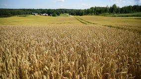 Transitoires de blé sur le champ d'or banque de vidéos