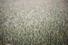 Transitoires de céréale sur le champ Photo libre de droits