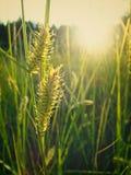 Transitoires de carex au soleil au pré photos libres de droits