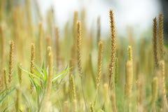 Transitoires de fleur de mauvaise herbe. Photographie stock libre de droits
