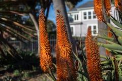 Transitoires de floraison d'aloès Image libre de droits