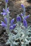 transitoires fleurissantes de couleur lavande d'incana de Veronica photo stock
