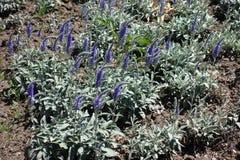 Transitoires fleurissantes violettes d'incana de Veronica photo stock