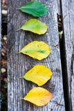 Transizione della foglia del faggio di autunno Immagine Stock Libera da Diritti