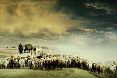 Transizioni degli ovini e dei bovini Fotografia Stock