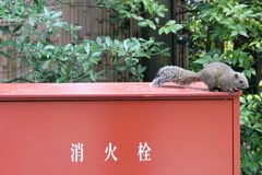 Translation: A squirrel around Tsurugaoka Hachimangu shrine comp royalty free stock photo