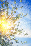 Translucen sun trough cherry tree Royalty Free Stock Image