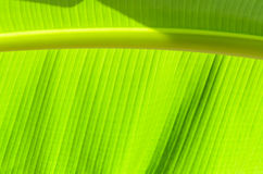 Translucent of banana leaves Royalty Free Stock Image
