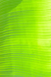 Translucent of banana leaves Stock Photo