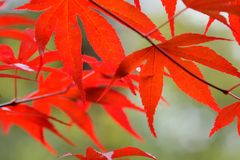 Translucent and bright red leaves stock image