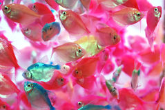 The translucent colorful tropical fish. Swim in the aquarium background Royalty Free Stock Images