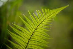 Translucent fern Royalty Free Stock Image