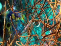 Translucent gorgonian shrimp Manipontonia psamathe   on gorgonian coral i stock video
