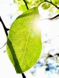 Translucent green leaf. Sunbeams pass through a translucent green leaf Stock Photography