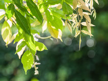 Translucent green leaves backlit by afternoon sun Royalty Free Stock Photos