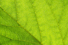Translucent Green Leaves Royalty Free Stock Image