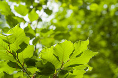 Translucent green leaves Royalty Free Stock Images