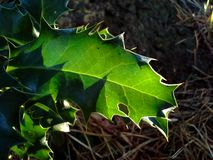 Translucent Holly Leaf Stock Photo