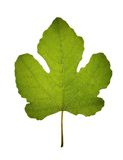 Translucent isolated fig leaf Royalty Free Stock Photo