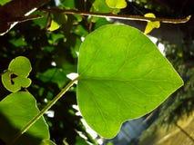Translucent Ivy Leaf Royalty Free Stock Image