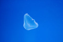 Translucent jelly fish Royalty Free Stock Image