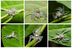 Translucent jumping spider in wild Stock Photo