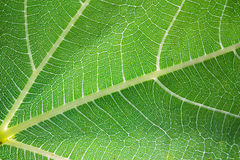 Translucent leaf. Green leaf texture close up - translucent leaf of fig - chlorophyll, photosynthesis Royalty Free Stock Photo