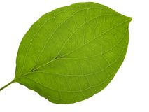 Translucent leaf Royalty Free Stock Photography